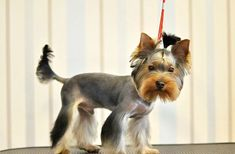 Yorkie haircuts for males and females + pictures) - Yorkie. Yorkie Cuts, Yorkie Haircuts, Silky Terrier, Silky Hair, Yorkshire Terrier, Hair Cuts, Female, Dog Things, Dogs