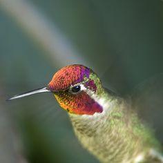 beija-flor, ave