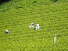 Champs à Shizuoka Tea garden at Shizuoka by Camellia-Sinensis, via Flickr