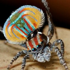 Peacock spider...cool