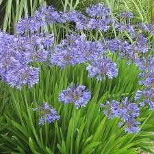 ****Image result for agapanthus Peter Pan
