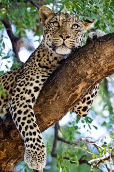 (by Jay Collier) leopard Jungle Animals, Animals And Pets, Cute Animals, Wild Animals, Beautiful Cats, Animals Beautiful, Gato Grande, Big Cats Art, Majestic Animals