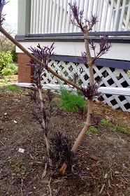 Pruning Black Lace Elderberries Black Lace Elderberry, Elderberry Shrub, Tree Bench, Black Laces, Shrubs, Home And Garden, Backyard, Outdoor Structures, Landscape