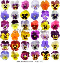 Pansies on a white background - stock image . - Pansies on a white background – stock image - Sugar Flowers, Felt Flowers, Beautiful Flowers, Colorful Flowers, Art Floral, Pansy Tattoo, One Stroke Painting, Pansies, Violas Flowers