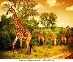Image from http://image.shutterstock.com/display_pic_with_logo/140458/111387554/stock-photo-image-of-a-south-african-giraffes-big-family-graze-in-the-wild-forest-wildlife-animals-safari-111387554.jpg.