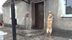 A Persistent Dog Politely Rings the Doorbell When She Wants to Come Inside