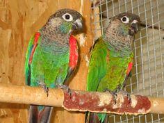 The pearly parakeet (Pyrrhura lepida)