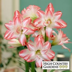 Amaryllis Bulb Blossom Peacock | Hippeastrum | Low Water Plants, Eco Friendly Landscapes | High Country Gardens