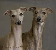 These two remind me strongly of my late Willow and Wings, a precious pair I loved greatly. All Dogs, Best Dogs, Dog Expressions, Whippet Dog, Dog Heaven, Grey Hound Dog, Italian Greyhound, Working Dogs, Portrait