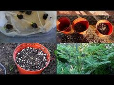 A detailed description of how to grow Moringa from seed to a tree. This step by step guide will help you grow this superfood - Moringa Oleifera right in your. Outdoor Plants, Outdoor Gardens, What Is Moringa, Moringa Recipes, Miracle Tree, California Garden, Sustainable Food, Healing Herbs, Medicinal Plants
