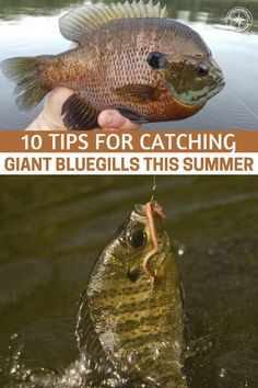 10 Tips for Catching Giant Bluegills This Summer - This article will teach you 10 tips for catching giant bluegills in the summer. Never understate that skill that you may have learned back on those old county roads. Crappie Fishing Tips, Fly Fishing Tips, Fishing Rigs, Fishing Bait, Fishing Humor, Best Fishing, Saltwater Fishing, Ice Fishing, Fishing Tackle