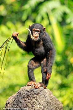 Chimpanzee's joke gets riotous response from young primates Monkey Pictures, Cute Pictures, Primates, Mammals, Jungle Animals, Cute Animals, Ape Monkey, Colorful Animals, Baboon