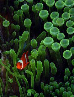mutualism between clown fish and sea anemone Sea Anemone, Clownfish Anemone, Under The Sea Pictures, Aquarium Pictures, Life Under The Sea, Deep Blue Sea, Beautiful Fish, Ocean Creatures, Underwater World