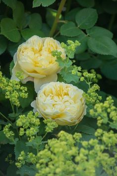 This is the exquisite rose, Charles Darwin in one of its changeable guises, with Lady's Mantle (Alchemilla) at its feet. From David Austin Roses in mixed borders - Gallery. Charles Darwin can fade to a strange beige color when immature. Charles Darwin, Yellow Flowers, Pretty Flowers, Pink Roses, Beautiful Roses, Beautiful Gardens, Austin Rosen, Peonies Garden, Flowers Garden