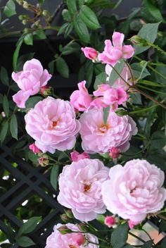 Mortimer Sackler, Shrub. English Rose Collection. David C. H. Austin 2002