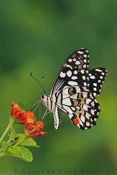 ~~Lime Butterfly (Papilio demoleus) by Sara-D~~