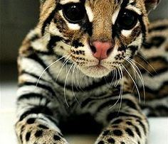 Not sure what kind of cat this is or if it's domestic or wild but it sure is beautiful ~!~