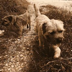 Cute pair of Border Terrier Dogs