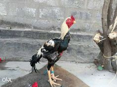https://img03.olx.in/images_olxin/252450745_1_1000x700_black-and-white-asil-rooster-rajahmundry.jpg