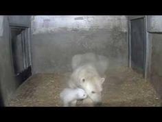 Polar Bear, Eisbär-Nachwuchs im Zoo Rostock - Update 06.02.2015