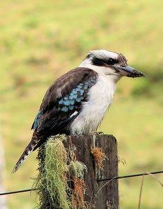 Birds On Fence Post Paintings | KiriLees › Portfolio › Kookaburra sits on an old fence post!