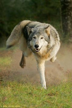 WOLF... love the action shot. I  would be so stupid cause I  would think this was a shepard duh