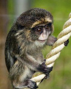 Baby de brazza monkey