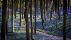 La vallée des larmes de marc_1328 est la Photo du Jour! Photo prise dans le bois de Halle près de Bruxelles. Chaque année et durant quelques semaines le sol de la forêt revêt son tapis bleu de clochettes.  fotoloco.fr: Cours Photo gratuits et Concours Photos.  Une communaute de 22,000 passionnes! #Hallerbos #nature #paysage #paysages #instapaysage #beaupaysage #NatureetPaysage #Canon400 #Canon400mm #Canon5DMarkIII #Canon #fotoloco #fotoloco_fr #concoursphoto #coursphoto