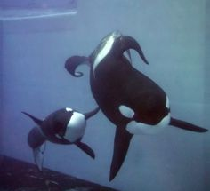 Keiko Orca, Big Whale, Killer Whales, Sea World, Ocean Life, Dolphins, Zoos, Orcas, Paintings