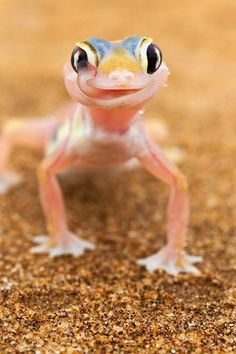Cutest gecko ever drinks water from its OWN eyes to survive in baking Namibian Desert : Mail Online