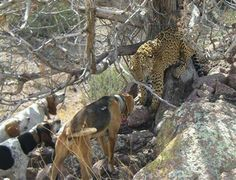 Occasionally a jaguar drifts farther north and is seen up into Arizona and New Mexico. No doubt such sightings are a surprise to everyone involved. Lion Hunting, Hunting Dogs, Hunting Pictures, Dog Games, Macro Shots, Sea Creatures, Big Cats, New Mexico, Jaguar