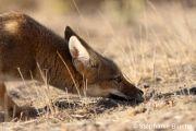 <h5>REN_0016</h5><p>Renard gris d'Argentine / Pseudalopex griseus / South American grey fox _ Punta Norte, Province du Chubut, Patagonie, Argentine</p>