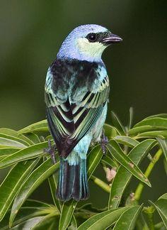 Masked Tanager, Tangara nigrocincta: BO/ BR/ CO/ EC/ GY/ PE/ VE
