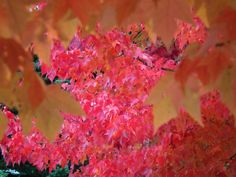 Photography from Whistler in the Fall. Red leaves on trees. Red Leaves, Whistler, British Columbia, Trees, Fall, Plants, Photography, Beauty, Autumn