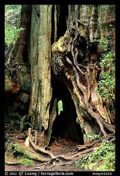 Cedar tree. Olympic National Park, Washington, USA.
