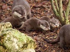 France's ZooParc de Beauval is celebrating the arrival of three Asian Small-clawed Otter pups!  The trio was born to female Suri, who is providing excellent care.