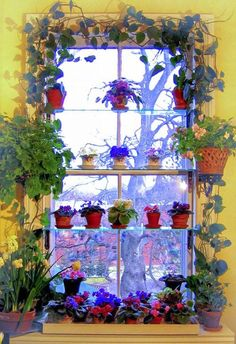 Window sill gardening: begonias, African violets, hyacinths, and vines. Photo: Kevin Lee Jacobs