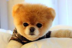 Lulu da Pomerânia: cãozinho virou xodó e é o mais caro do Brasil. Descubra o preço! http://r7.com/S0Av