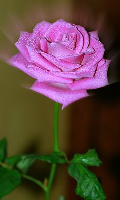 Download 480x800 «Роза» Cell Phone Wallpaper. Category: Flowers