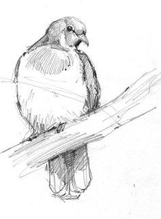 fruit pigeon More