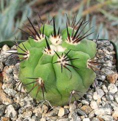 Copiapoa dealbata v. carrizalensis