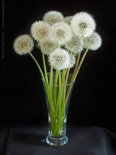 """Dandelion - The name dandelion is taken from the French word """"dent de lion"""" meaning lion's tooth, referring to the coarsely-toothed leaves. Dandelion Wish, Dandelion Flower, Taraxacum, Seed Pods, Arte Floral, Gerbera, Make A Wish, Ikebana, Oeuvre D'art"""