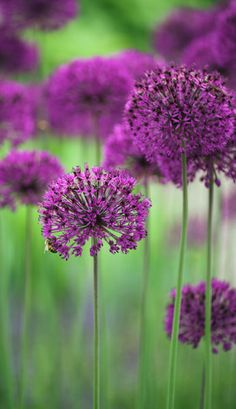 Allium hollandicum, Purple Sensation, allium: Position: full sun Soil: fertile, well-drained soil Rate of growth: average Flowering period: June Hardiness: fully hardy  Garden care: Avoid excessive mositure from late summer when dormant.