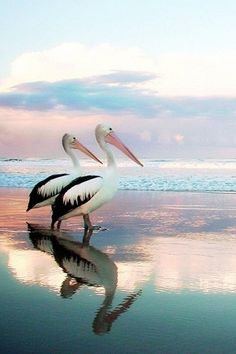 Beach Preciosa fotografía de esta #pareja de pelícanos en la playa #AmorAnimal www.twinshoes.es