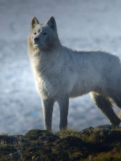 BBC Two - Snow Wolf Family and Me - Remus