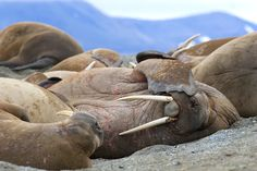 Snoozing walrus | by Ira Meyer #wildlife #Arctic