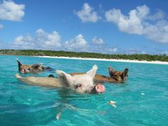 Yes! You too can swim with the... piggies?  I guess it's a real thing in the Bahamas! Pretty cute if you ask me!