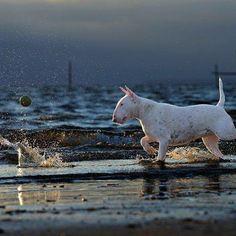 Having a Ball. #bullterriers #bullybreed #clairethebullterrier #bullterrier #dog #dogs #dogphotography #beach #alicevankempen