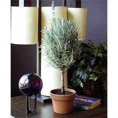Costco - Pair of Two (2) Live Fragrant Lavender Topiary Gift Plants customer reviews - product reviews - read top consumer ratings