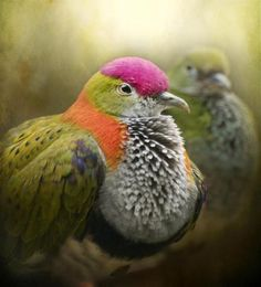 fruit dove     >>>>>photo by Pauline Fowler